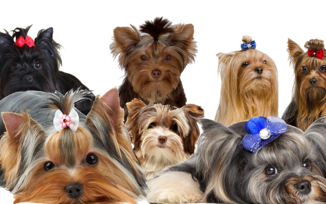 How Many Colors Do Yorkies Come In?